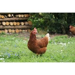 poulet issu d'élevage naturel éthique